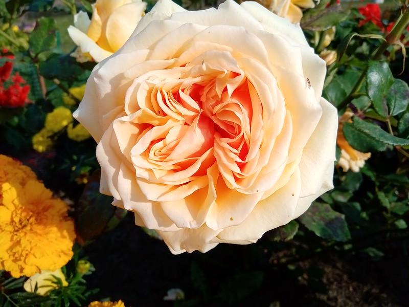 Роза флорибунда tchaikovski