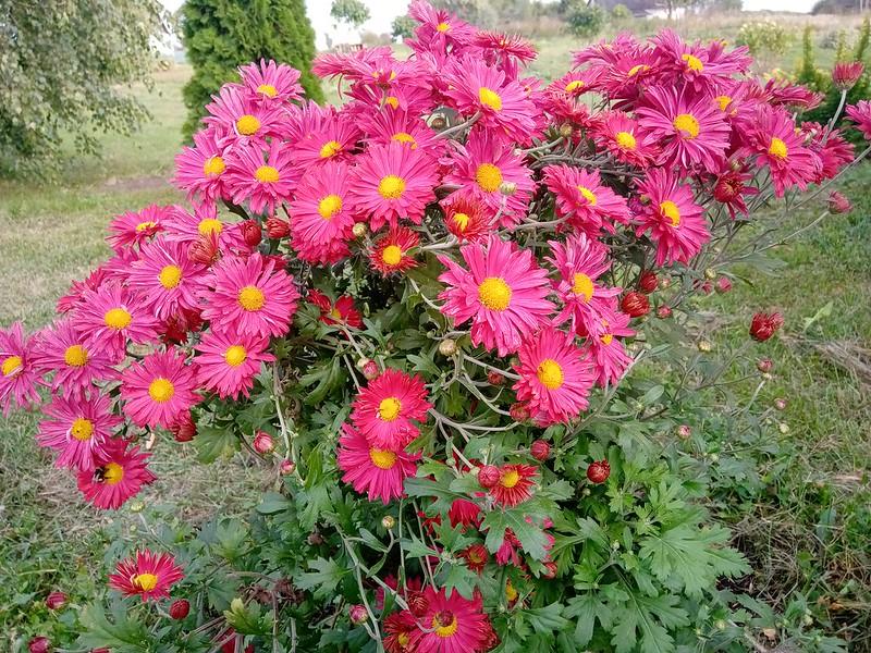 Хризантема ромашковидная розовая