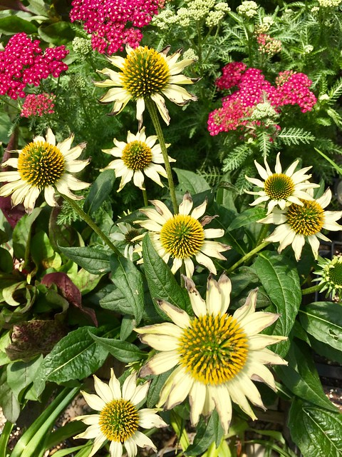Coneflowers & Yarrow