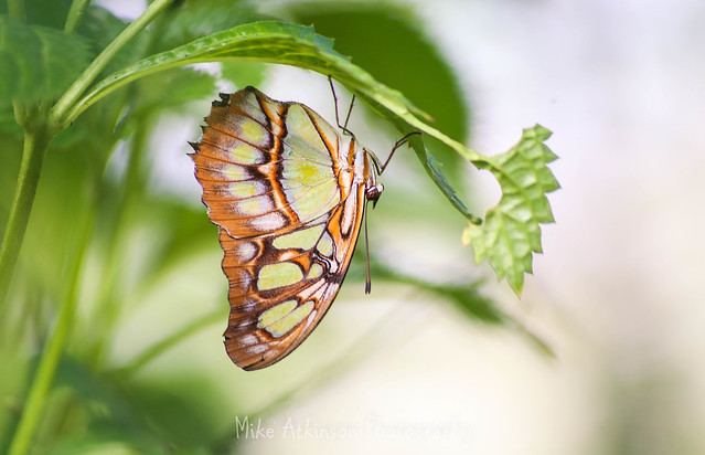 Malachite Butterfly (8).
