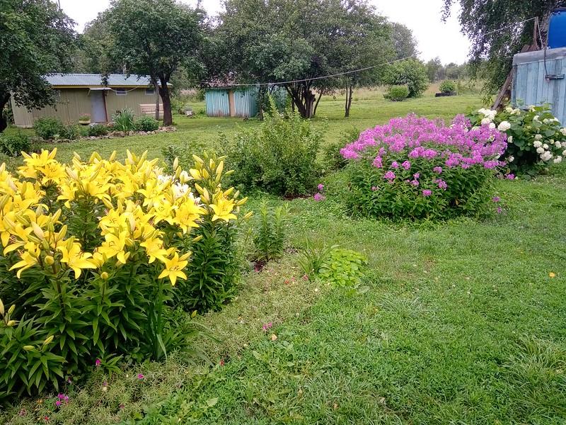 Цветы в саду Лилейник жёлтый, Флоксы и Гортензия древовидная