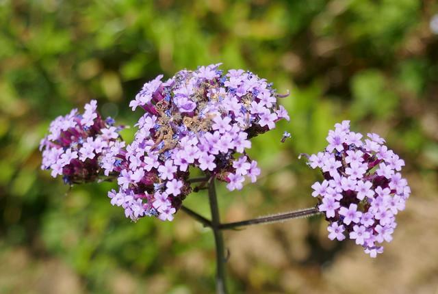 Au jardin, verveine de Buenos-Aires (Verbena bonariensis), Bosdarros, Béarn, Pyrénées Atlantiques, Nouvelle-Aquitaine, France.