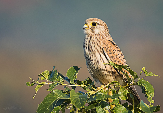 Junger Turmfalke (Falco tinnunculus)
