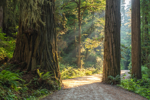 redwoods california lightrays landscape sony alpha trees forest hiking light green road woods outside mountains coast nature alone summer morning tree sun