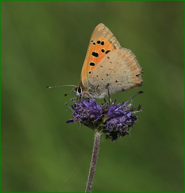 Small Copper II - Nectaring on Devilsbit Scabious