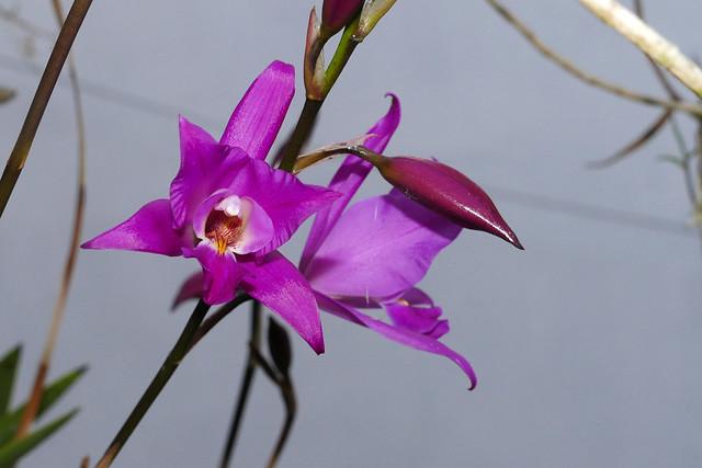 Laelia gouldiana species orchid 10-20*