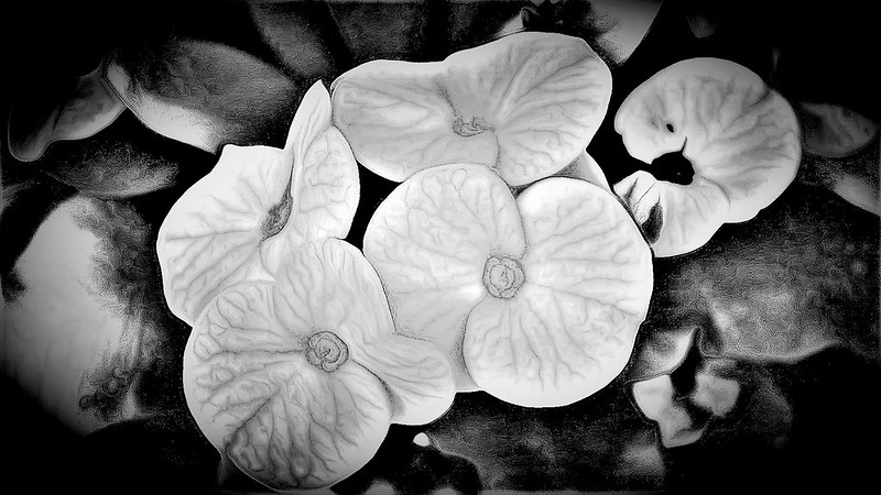 Crown-of-Thorns (b&w)