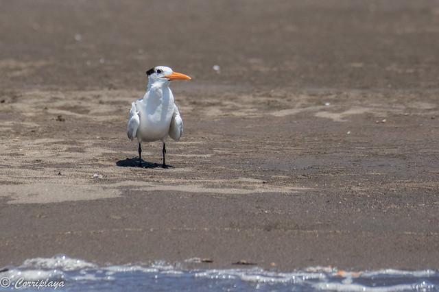Charran real, Thalasseus maximus, Royal Tern