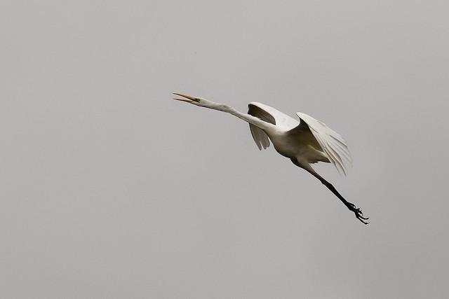 Grande Aigrette - Ardea alba - Western Great Egret - Silberreiher - Garceta grande
