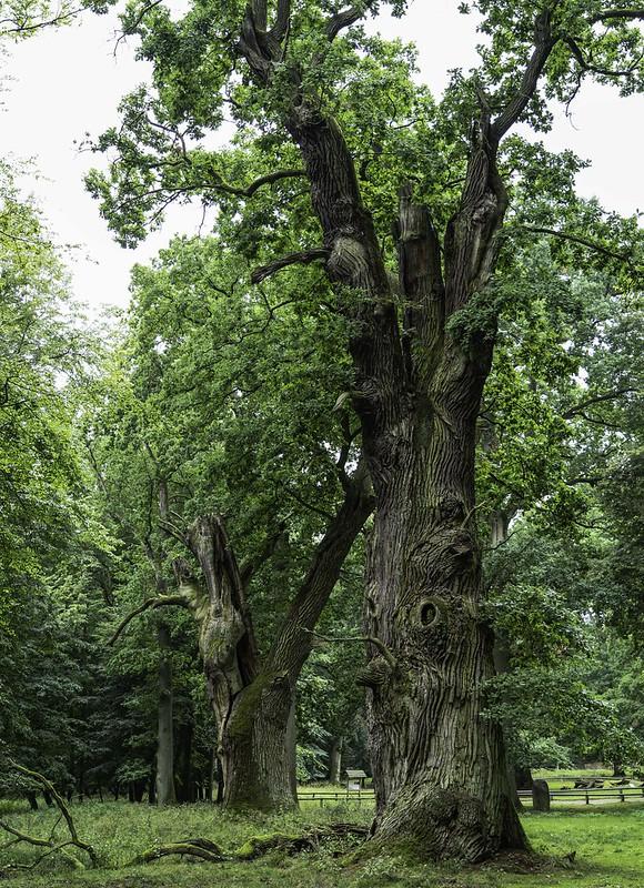 Riese aus Eichenholz ...