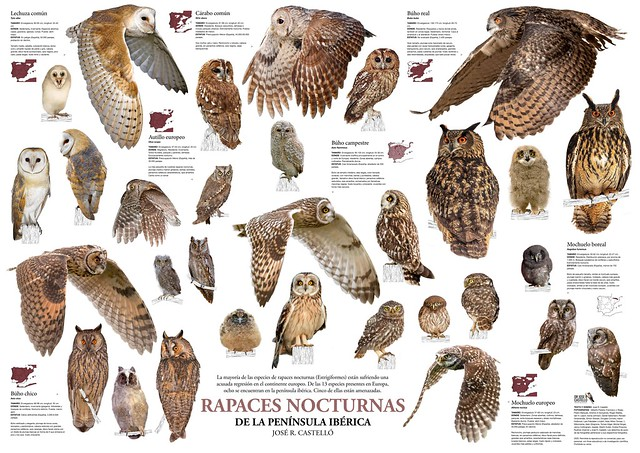 Night Raptors of the Iberian Peninsula