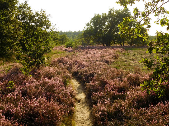 Heathland in the evening sunlight