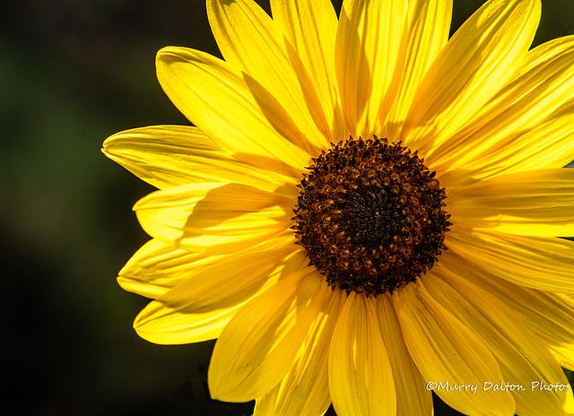 Sunflower IMG_2785