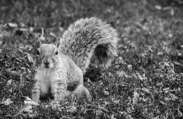 Grey squirrel, September 2020 2