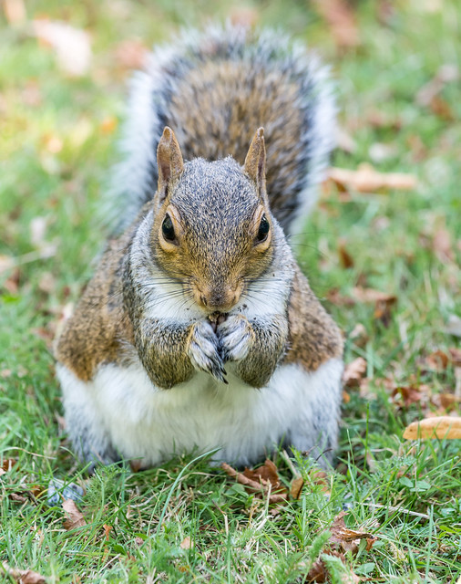 Grey squirrel, September 2020 1