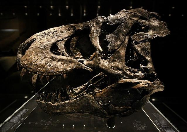 Berlin - Museum für Naturkunde - Tyrannosaurus rex Tristan-Otto Skull 04