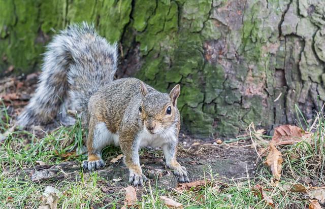 Grey squirrel, September 2020 3