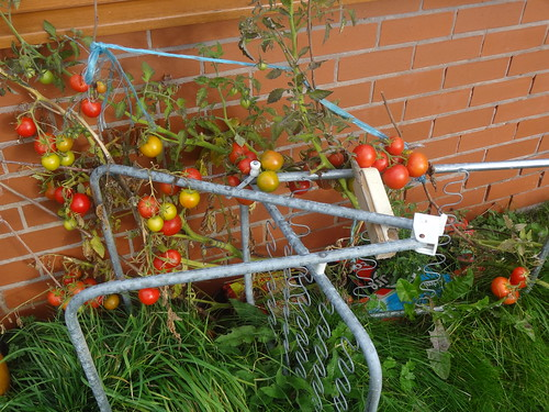Tomatoes ripening | by Mary Loosemore