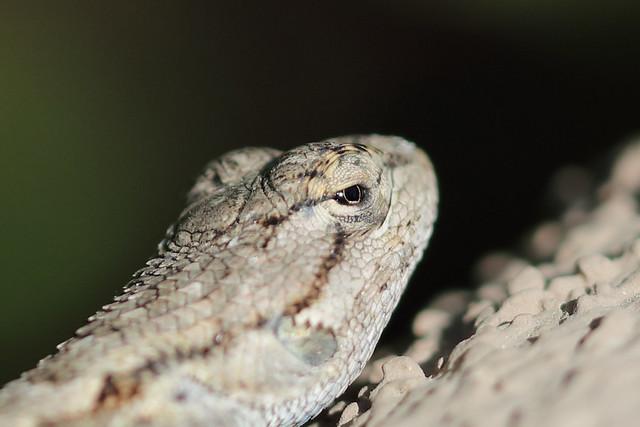 5DSR0778 View Large. Our backyard visitor. Lizard. Corona California.