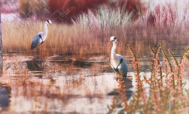 Placid Water Moment [[ HERONS ]]