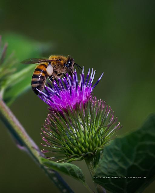 Bee chillin' on a Burdock flower