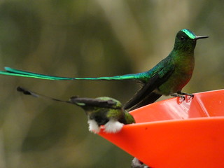 Long-tailed Sylph (Aglaiocercus kingii) (♂) | by Luis G. Restrepo