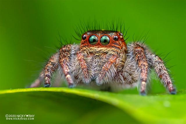 Jumping spider (Carrhotus viduus) - DSC_7781