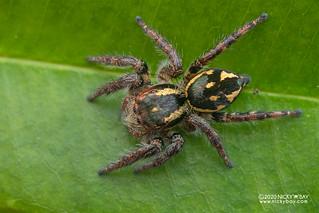 Jumping spider (Carrhotus viduus) - DSC_7757