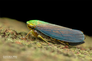 Leafhopper (Tartessus sp.) - DSC_7959