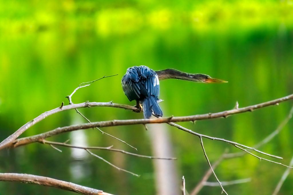 Perched anhinga