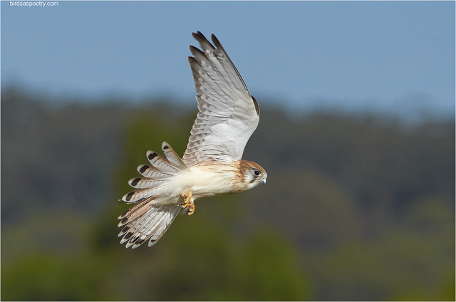Nankeen Kestrel: One Month on the Wing