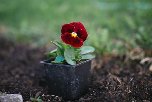King seeds flower in the garden.
