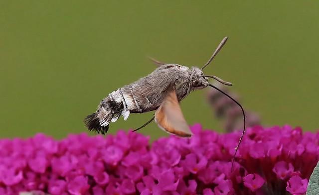 Hummingbird Hawk-moth - Taubenschwänzchen