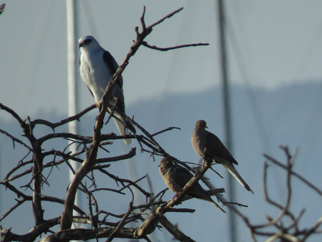 White-tailed Kite and Mourning Doves