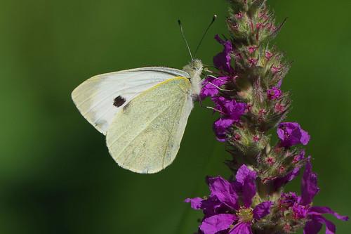 cambridgeshire waresleywood butterfly insect nature wild wildlife largewhite pierisbrassicae purpleloosestrife