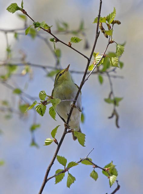 Пеночка-трещотка - Wood warbler