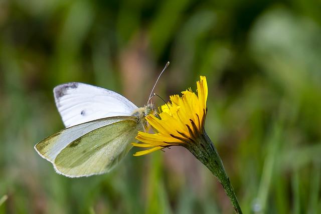Klein Koolwitje-Small White (Pieris rapae)