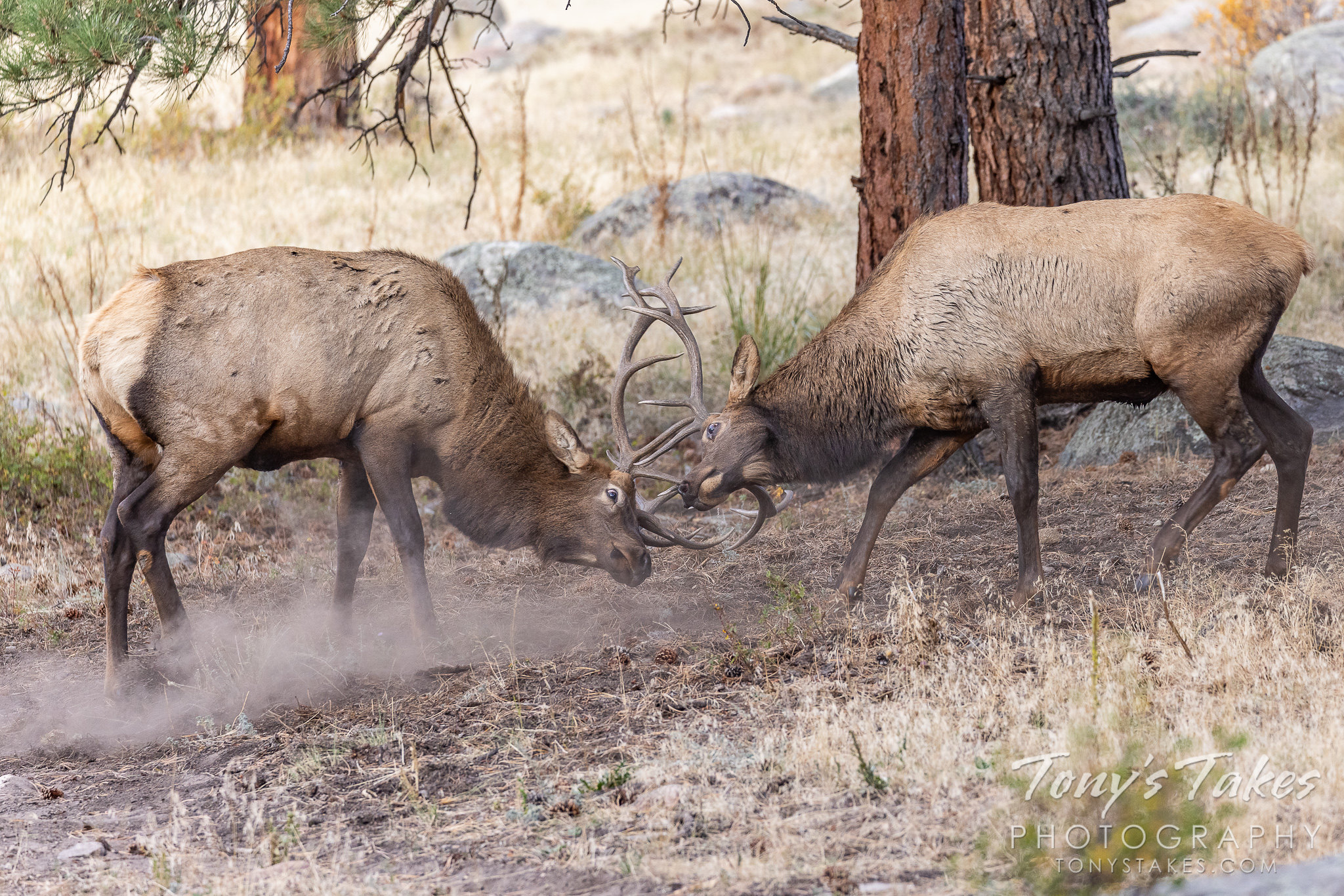 Elk bulls battle head-to-head in Rocky Mountain National Park. (© Tony's Takes)