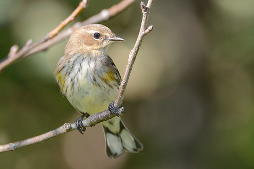 birds nikon nikond7100 tamronsp150600mmf563divc jdawildlife johnny portrait closeup eyecontact warblers warbleryellowrumped yellowrumpedwarbler whatbirdbestofday