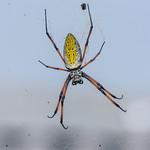 Southern Redleg Orbweaver (Trichonephila (Nephila) inaurata  madagascariensis), female