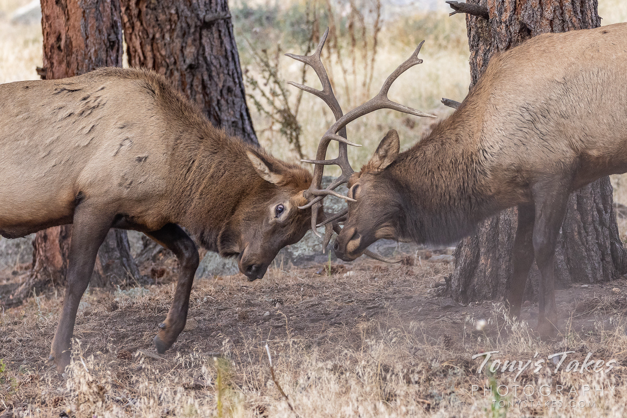 Elk bulls battle in the forest