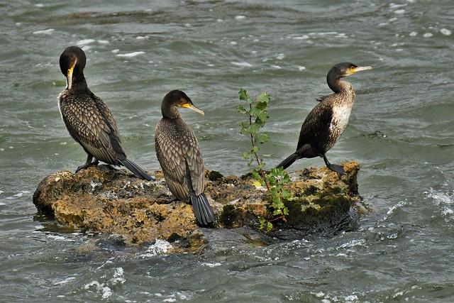 Grands cormorans - Phalacrocorax carbo - Great cormorants