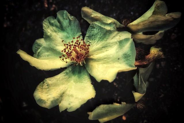 Sfiorito l'amore osservo i petali perduti.