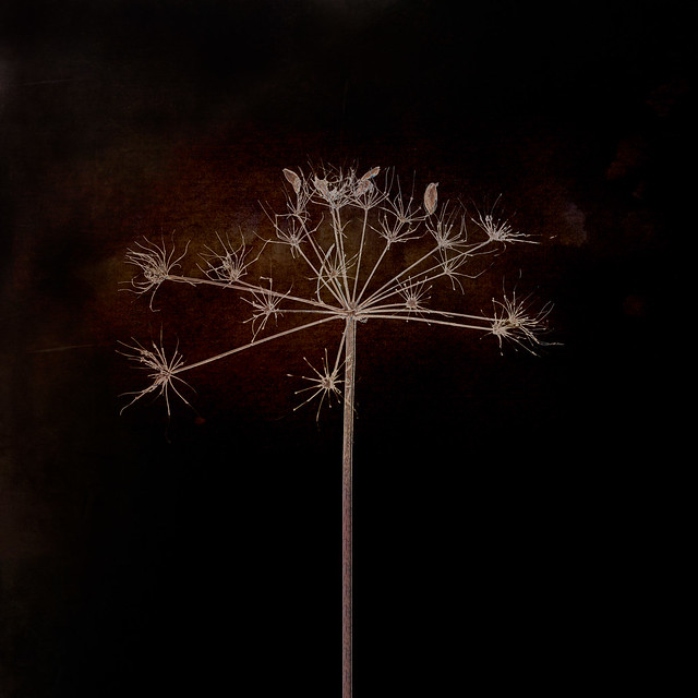 287/366 & 13/31 Dried Cow Parsley