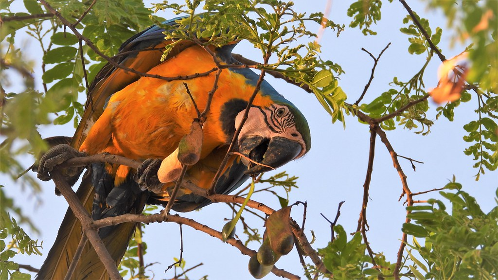 Arara-canindé - In Nature