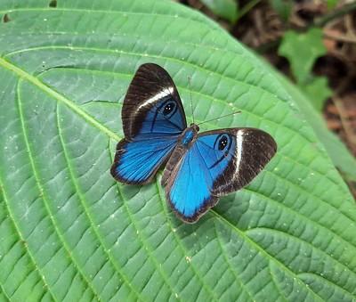 Papillon bleu -  Mesosemia Mevania