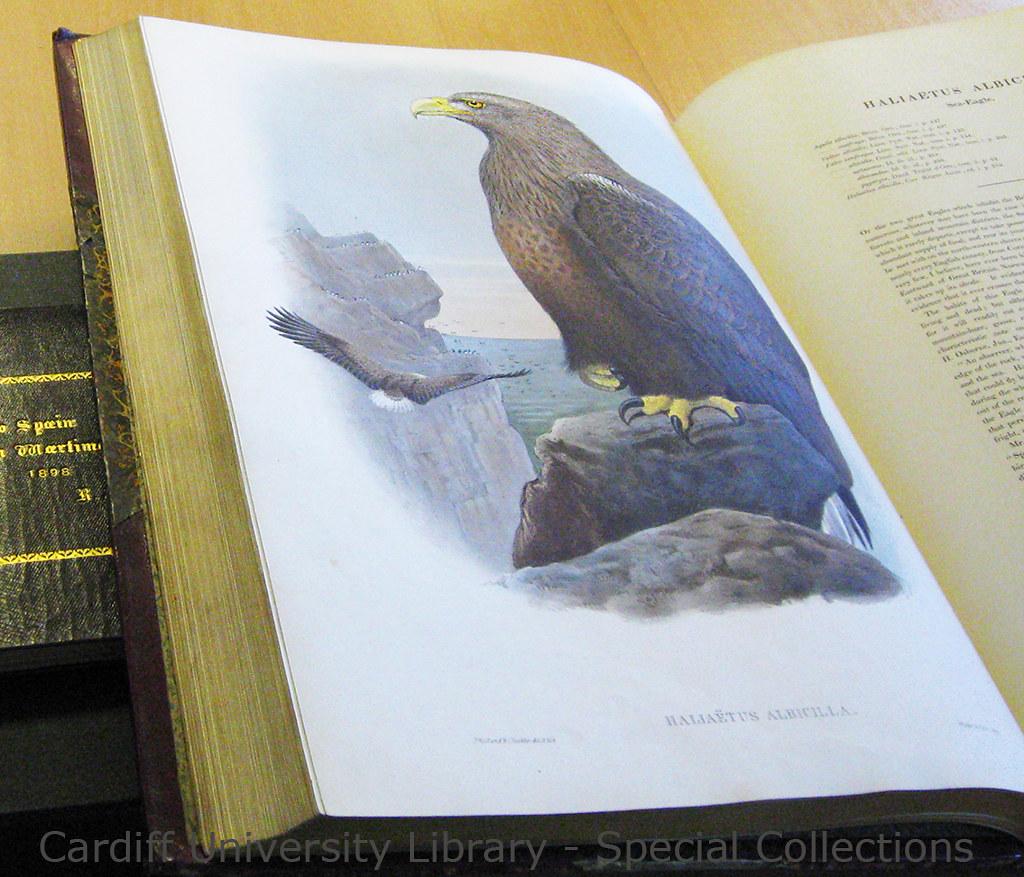 Sea Eagle - John Gould