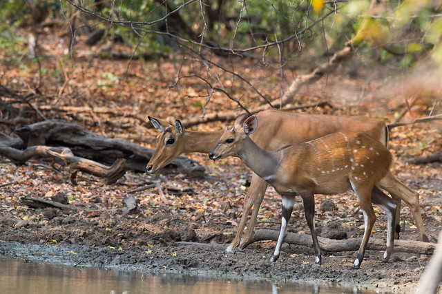Young male Bushbuck (Tragelaphus scriptus) and adult female impala (Aepyceros melampus) approaching a waterhole together