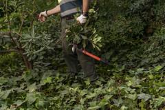 Pla de xoc del verd. Personal municipal de jardineria treballant en actuacions en massa arbustives