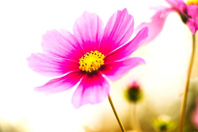 _DSC6515 aster pink